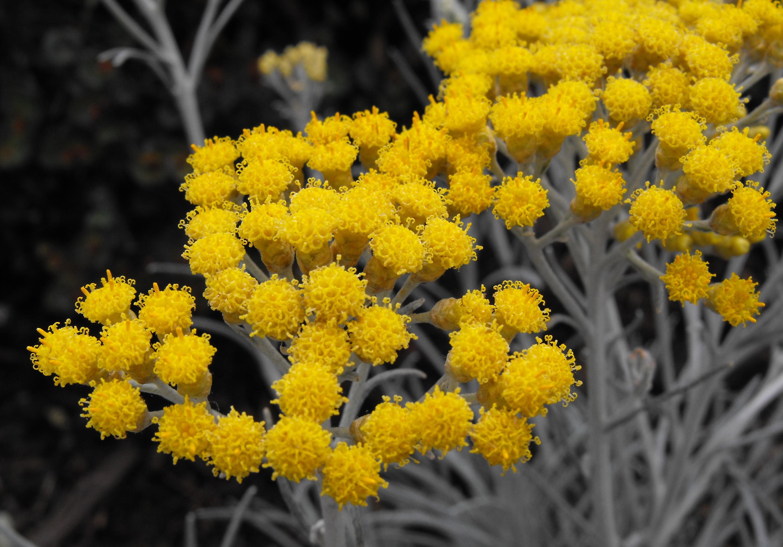 Цветки бессмертника лечебные свойства фото
